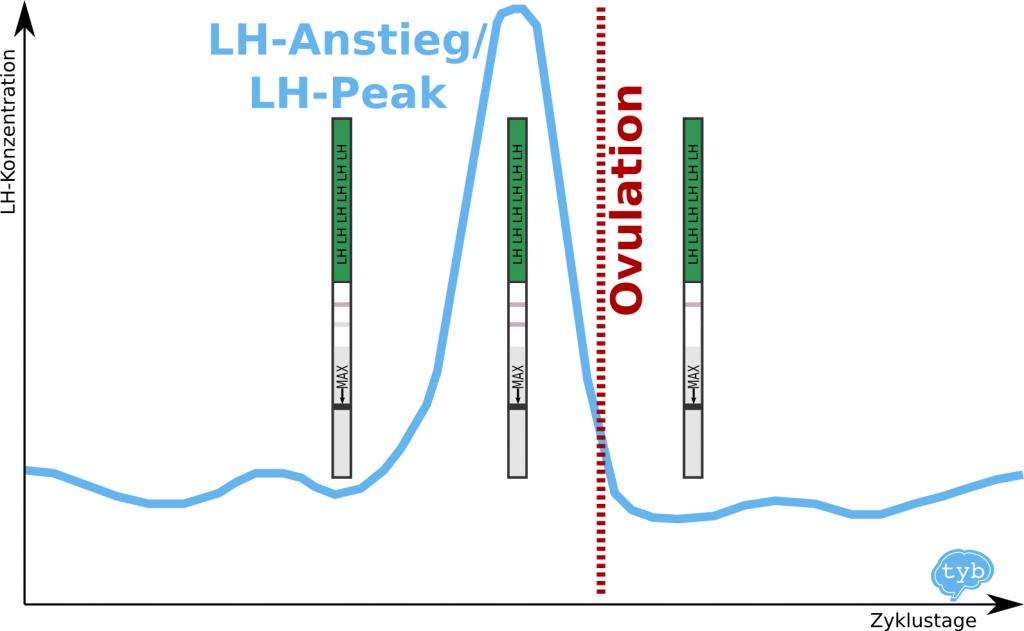 Ovulationstest,Ovulationstest-Erfahrung,Ovulationstest-Erfahrungen, Eisprung bestimmen mit LH-Test, LH-Anstieg
