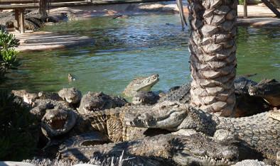 Krokodile auf Djerba