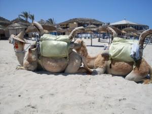 Strand-von-Djerba-Dromedar