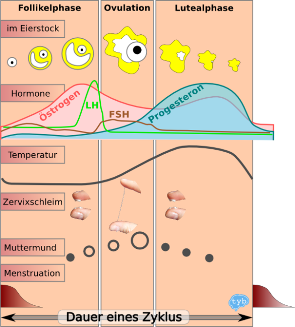 Menstruationszyklus-Hormone