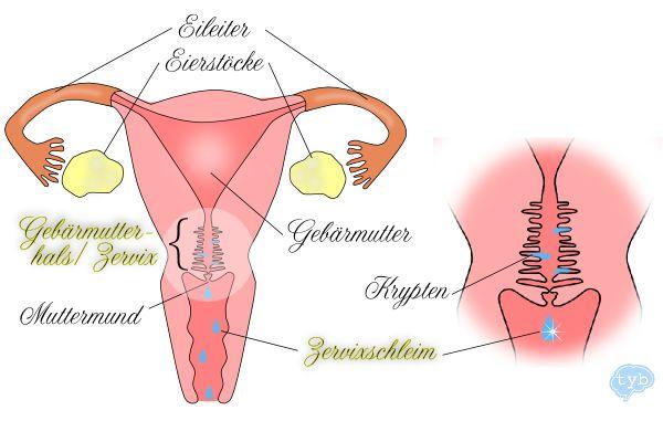 Gebärmutterhals, Muttermund, Krypten