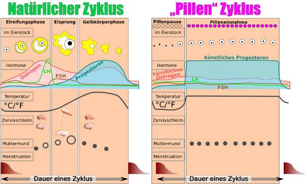 Zyklus mit Pille und ohne Pille