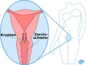 Zervixschleim - Krypten