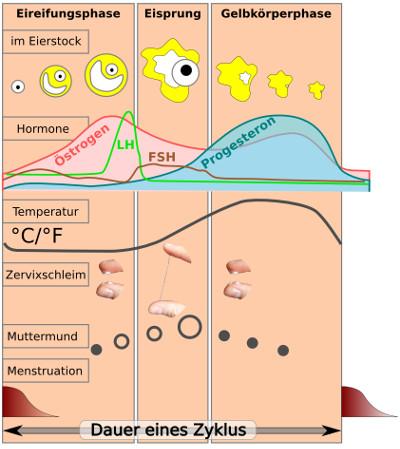 Natürlicher Zyklus Hormone
