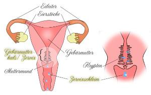 Gebärmutterhals - Ausfluss